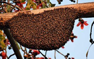 essaim d'abeilles