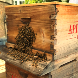 Ruche barbe, abeilles barbe, barbe apiculture